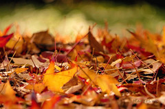 Colourful Fall Impression ... (MargoLuc) Tags: autumn colours golden season leaves red yellow green bokeh october sunlight
