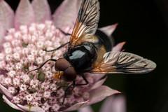 Lots of Eyes - _TNY_0268 (Calle Söderberg) Tags: macro canon canon5dmkii canoneos5dmarkii canon5dmarkii 5d2 raynox dcr250 flash godox thinklite tt685c plåtdiffusorv3 canonef100mmf28lmacroisusm blackbackground insect fly hoverfly blomfluga diptera syrphidae greatmasterwort masterwort stjärnflocka pink pastel flower astrantia major volucellini humleblomfluga fönsterblomfluga volucella pellucens pellucidfly eyes redeyes compoundeyes eristalinae syrphoidea f22
