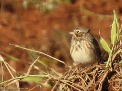 DSCN0121 (LindaSC) Tags: vespersparrow