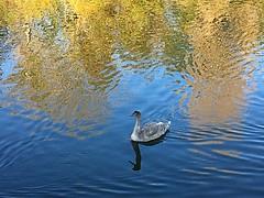 Cygnet (BrooksieC) Tags: swan cygnet water lake river pond blue reflections autumn belfast ireland northernireland sydenham yellow gold