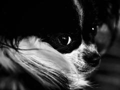 Bonnie (delnaet) Tags: bonnie papillon butterfly dog chien nature animal