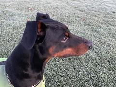 Doberman Pinscher Saxon (firehouse.ie) Tags: nature ice frost winter saxon dogs dog pinschers pinscher dobermanns dobermann dobermans doberman dobies dobie dobeys dobey dobes dobe