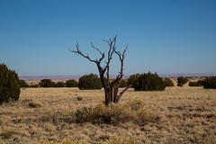 Juniper Tree Wupatki National Monument (grobinette) Tags: juniper painteddesert wupatkinationalmonument citadelpueblo arizona
