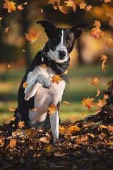 The Autumn Leaf Catcher