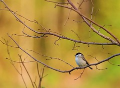Couleurs d'automne (valeriekling) Tags: automne oiseau mésange couleurs nonnette faune sauvage jura