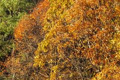 Foliage 19 Oct 2019 (19) (smata2) Tags: autumnfoliage pioneervalley