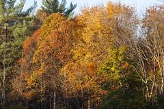 Foliage 19 Oct 2019 (18) (smata2) Tags: autumnfoliage pioneervalley