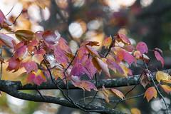 Foliage 19 Oct 2019 (17) (smata2) Tags: autumnfoliage pioneervalley