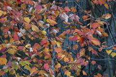 Foliage 19 Oct 2019 (13) (smata2) Tags: autumnfoliage pioneervalley