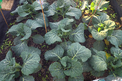 Savoy Cabbages (Pumpkins and Bunting) Tags: cabbages savoycabbages savoycabbage brassica winterveg winterbrassica allotment growyourown growfood vegetable food organic gardening greens
