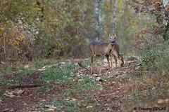 Chevreuils 029 (DarKWaRRioR4012) Tags: chevreuils bourgogne vernot côtedor forêt