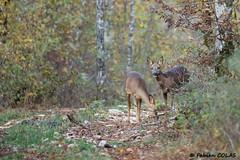 Chevreuils 027 (DarKWaRRioR4012) Tags: chevreuils bourgogne vernot côtedor forêt