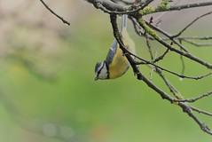 Mésange bleue (Nature Action) Tags: mésange bleue cyanistes caeruleus eurasian blue tit lpo bird nature