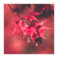 Voluptuous (Mandy Willard) Tags: 365 0711 acer leaves red