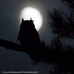 moon owl-3454 (alankrakauer) Tags: ebrpd wildcat wildcatcanyon wildcatcanyonregionalpark wildlife