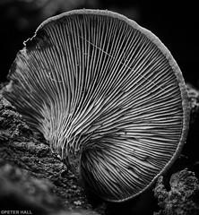 Underneath (peterphotographic) Tags: pb081573sefexedwm olympus em5mk2 microfourthirds mft ©peterhall highbeech highbeach eppingforest essex england uk britain prime macro wild nature mushroom funghi toadstool wood forest silverefexpro2 nik blackandwhite blackwhitephotos bw monochrome underneath veins
