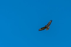 08_130544_8911_7RM3.jpg (Martin Alpin) Tags: bexhillonsea littlecommon buzzard