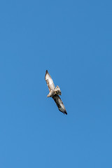 08_130546_8912_7RM3.jpg (Martin Alpin) Tags: bexhillonsea littlecommon buzzard