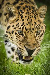 WHF: Hogar (Amur Leopard) (Jasmine'sCamera) Tags: whf cat bigcat bigcats bigcatsanctuary wildlifeheritagefoundation wild wildlife animal animals beauty beautiful eyes whisker whiskers fluff fluffy fur amur amurleopard leopard spots