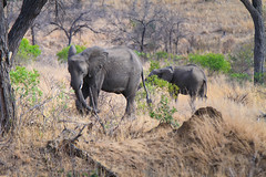 Elephants in the wild in South Africa (` Toshio ') Tags: toshio southafrica africa elephants elephant animal wildlife krugernationalpark kruger bush trees safari canon7d 7d canon nature