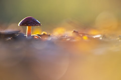 Color my world. (look to see) Tags: paddenstoel mushroom fungi bokeh dof backlight tegenlicht kleur color mood bokehlicious mariahof beek bree belgium vintagelens pentacon 3004made gdr herfst fall autumn 2019