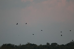 IMG_2156 (armadil) Tags: vulture vultures blackvulture blackvultures flying sunset lakemarianparadise florida kenansville bird birds