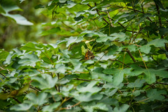 Como una hoja (SantiMB.Photos) Tags: 2blog 2tumblr 2ig coaner santmateudebages barcelona bages primavera spring mariposa butterfly arce árbol tree maple acer lobito lobitolistado pyroniabathseba geo:lat=4183218274 geo:lon=171990255 geotagged argensolacastellnoudebages cataluna españa