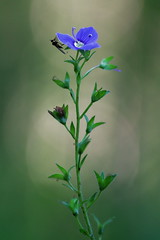 Untitled (jttoivonen) Tags: nature finland creativecommons detail flower insect plant bokeh blue green macro closeup summer