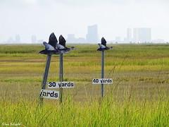yard ducks DSC03696 s (clausholzapfel) Tags: americanblackduck hunting wildfowl