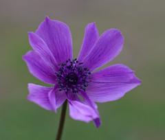Anemone Nel Verde D'Autunno (G.Sartori.510) Tags: pentaxk1 hdpentaxda14xafawrc smcpentaxa50mmf14 fiore flower anemone ranunculaceae