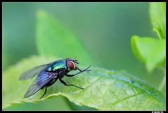 Toilette matutinale (boblecram) Tags: mouche fly diptère macro