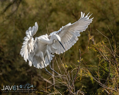 Little egret (Egretta garzetta)-6131 (George Vittman) Tags: bif birds branch egret flight heron landing nature tree wildlife bouchesdurhône france camargue nikonpassion wildlifephotography jav61photography jav61