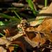 November Libelle