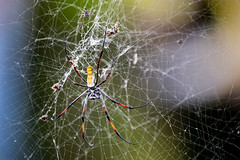 Red-legged golden orb-weaver spider (Nicolas Hoizey) Tags: 100400mm africa afrique arachnid arachnida arachnides araneae aranéides arthropoda arthropodes chelicerata chélicérates chélicérés dianibeach fujifilm fujifilmxt3 fujinon fujinonxf100400mmf4556rlmoiswr kenya néphiledorée thebaobabhotel trichonephilainaurata xt3 animal araignée araignées redleggedgoldenorbweaverspider redleggednephila spider spiders toile web kwale côte