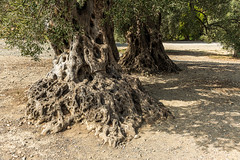 Olijfbomen bij Gortys (JacobOtten) Tags: boom griekenland kreta olijf gortys crete greece oleaeuropaea olive tree