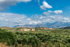Eindeloze olijfboomgaarden (JacobOtten) Tags: kreta olijf boom griekenland crete greece oleaeuropaea olive tree partira