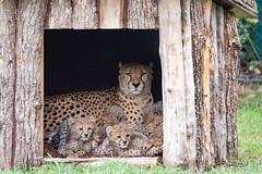 Nachwuchs Geparden (markusgeisse) Tags: opel zoo kronberg tier animals sony alpha tele teleobjektiv zoom tampon nature natur geparden childs tierkinder nachwuchs raubtier katze cat
