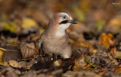 Autumnal Jay (Mick Erwin) Tags: nikon afs 600mm f4e fl ed vr lens d850 mick erwin stoke trent staffordshire wildlife nature autumn jays eurasianjay jaybird eurasian jay garrulus glandarius corvid
