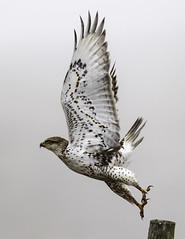 Ferruginous Hawk (Tomingramphotography.com) Tags: ferruginoushawk hawk point reyes national seashore wildlife wild nature migration
