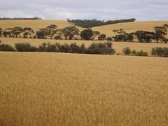 Winulta on Yorke Peninsula. Wheat paddocks almost ready for harvesting. Late October 2019. (denisbin) Tags: yorkepeninsula winulta stamsbury oysterbay norfolkislandpines cairn memorial pioneers crop wheat grain