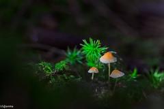 08112019-DSC_0015 (vidjanma) Tags: 3champis champignons sapinshestrai