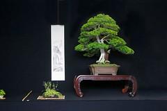 bonasi_juniper_mg_0945 (Allen Roffey) Tags: bonsai juniper