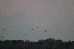 IMG_2154 (armadil) Tags: vulture vultures blackvulture blackvultures flying sunset lakemarianparadise florida kenansville bird birds