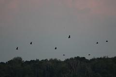 IMG_2155 (armadil) Tags: vulture vultures blackvulture blackvultures flying sunset lakemarianparadise florida kenansville bird birds