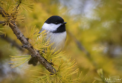 Black-capped Chickadee (Nick Scobel) Tags: blackcapped chickadee bird poecile atricapillus fall colors autumn tamarack forest color yellow warmth kensington metropark michigan
