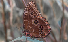 Morpho peleides butterfly (Torok_Bea) Tags: morphopeleides butterfly morphopeleidesbutterfly pillangó beautiful natur nature animals nikon nikond7200 d7200 sigma macro bluebutterfly wonderful amazing awesome lovely lepidoptera lovenatur sigmalens nikond sigma105