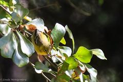 767A5115 (LindaSC) Tags: pinewarbler