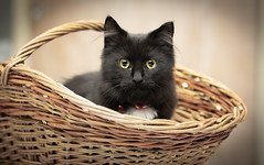 One out of six (Ranveig Marie Photography) Tags: dyrebeskyttelsen dnnj cat katt kitten kattunge dark black stare cute charming pet animal kjæledyr domesticanimal domesticanimals basket kurv egersund animalprotection adoptsontshop