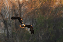 Bald Eagle in the Light (Ken Krach Photography) Tags: morning maryland for this bald eagle over susquehanna river