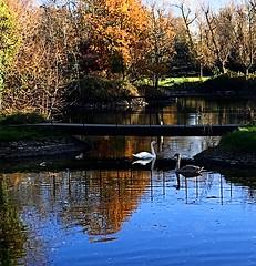 Swan family (BrooksieC) Tags: autumn swans cygnet water blue trees reflections gold brown yellow green bridge pond lake river ireland northernireland belfast sydenham